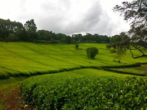 teafields