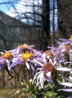 montana_flowers